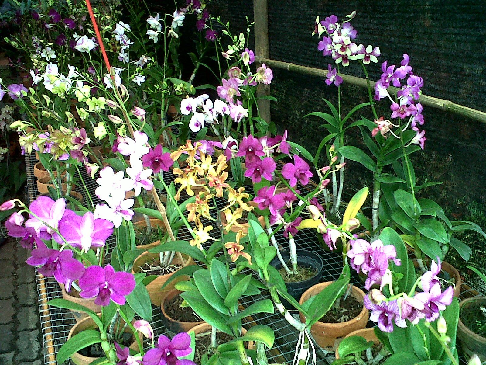 Anggrek Yanflora Com 002 Yan Flora